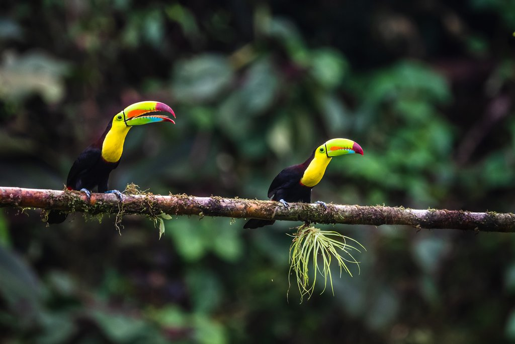 Vibrantly hued toucans on a tree branch in Costa Rica's jungle