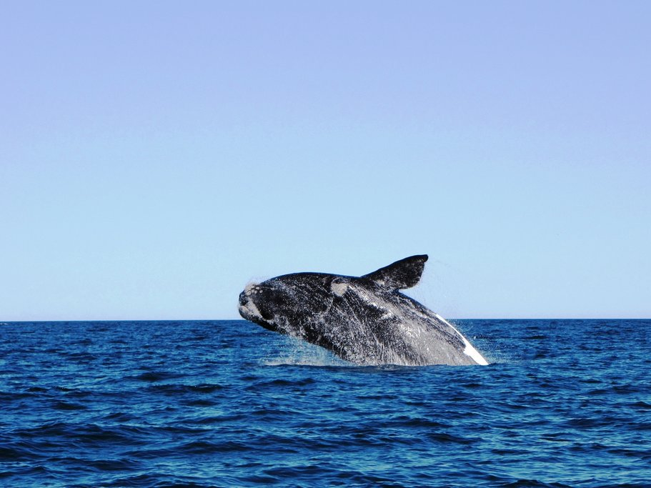 A whale jumping out of the water off the coast of Puerto Madryn, Argentina