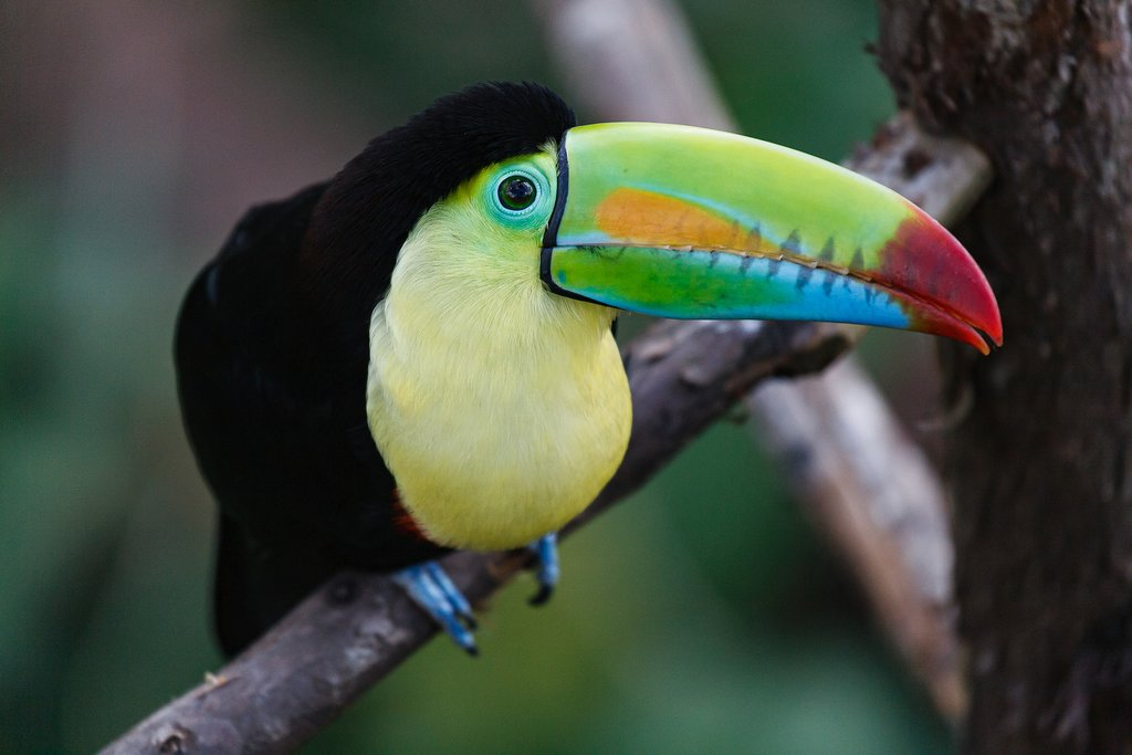 Spot birds, like the keel-billed toucan, in Turrialba