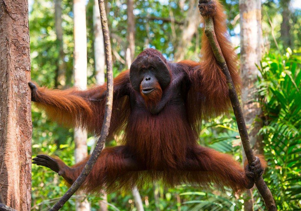 A Borneo Orangutan