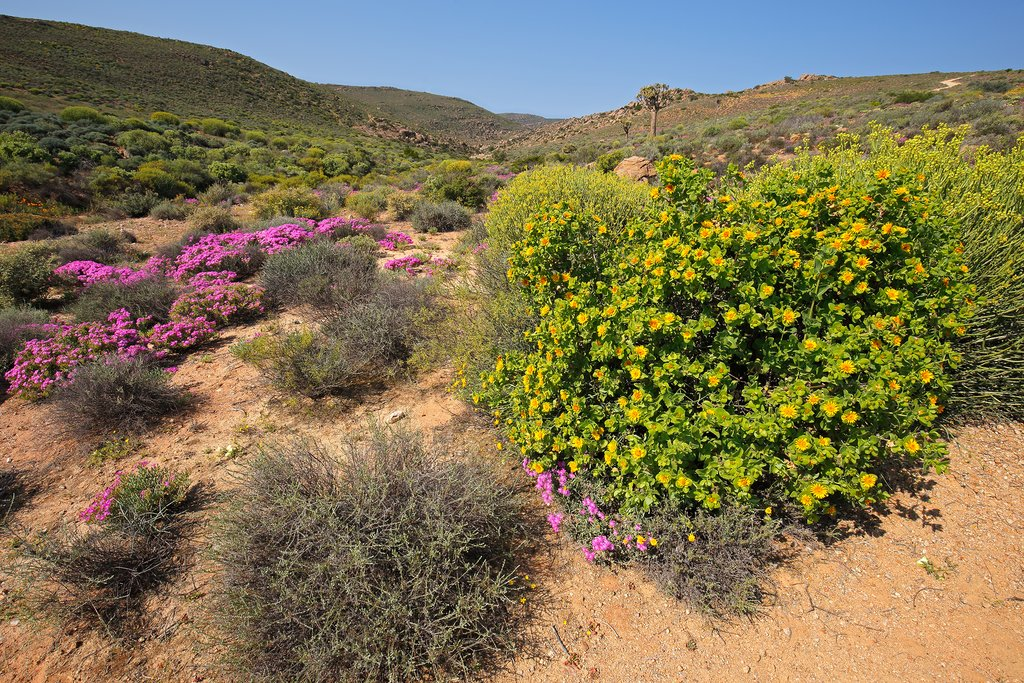 Wild flowers in Namaqualand, South Africa