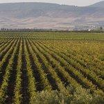 The vines of Guerrouane