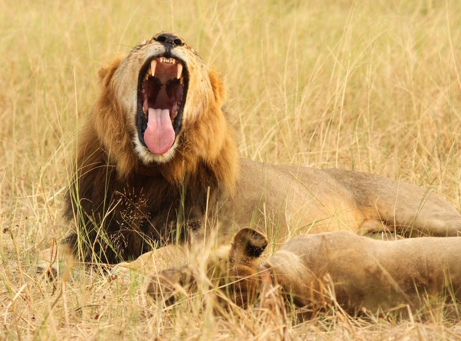 Lions on a game drive