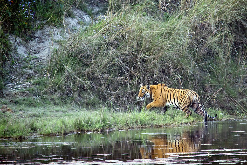 Royal Bengal Tiger crossing the Karnali river in Bardia National Park