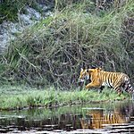 Royal Bengal Tiger crossing the Karnali river in Bardia National Park