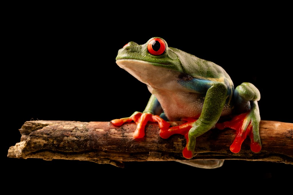 You can spot red-eyed tree frogs at night.