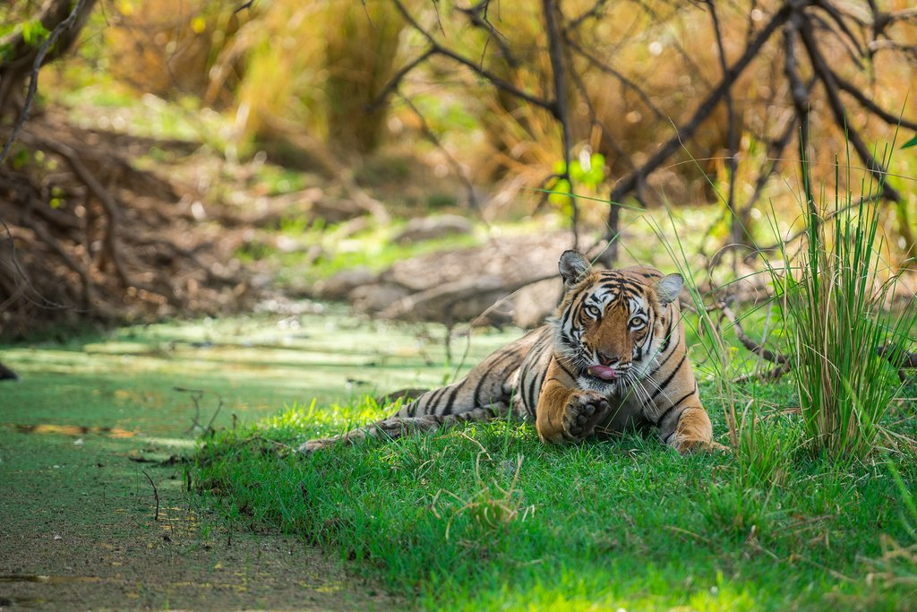 Female Bengal tiger in Ranthambore