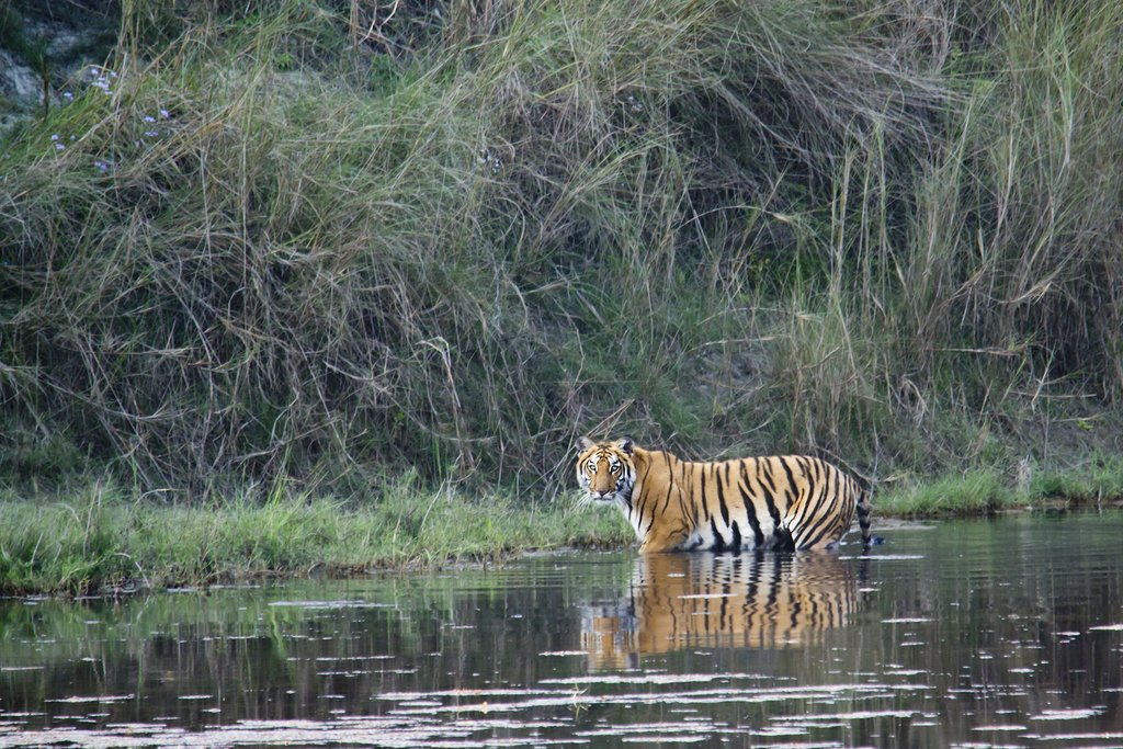 A Bengal tiger crossing a river in Bardia National Park, Nepal