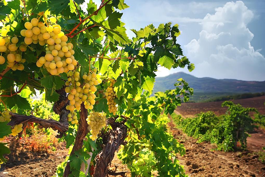 Vineyards in Rioja