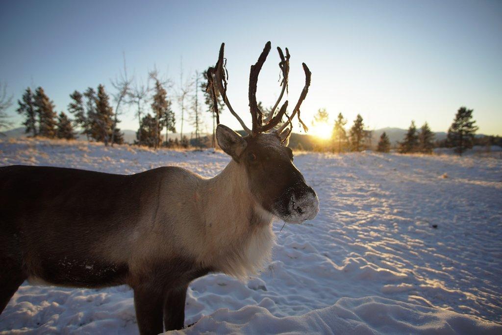 Caribou in the wildlife preserve