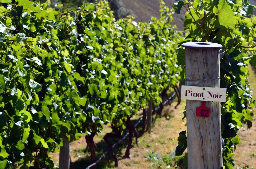 Pinot Noir is a regional specialty in San Patricio del Chañar