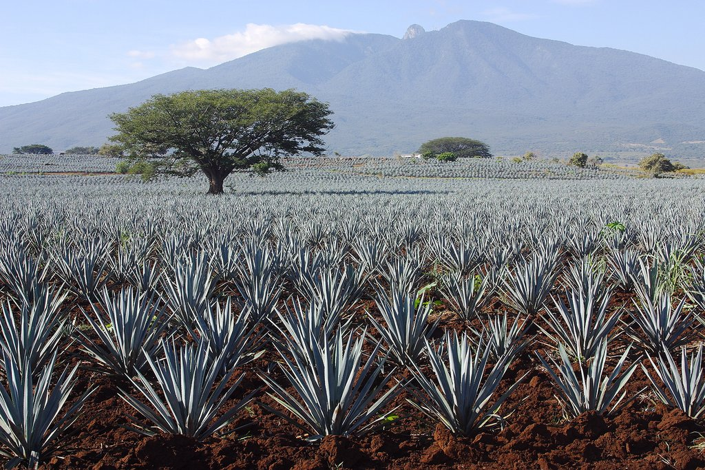 Agave plants in Tequila, Jalisco