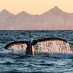 Whale Watching in Andenes