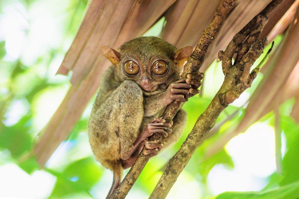 A tiny tarsier