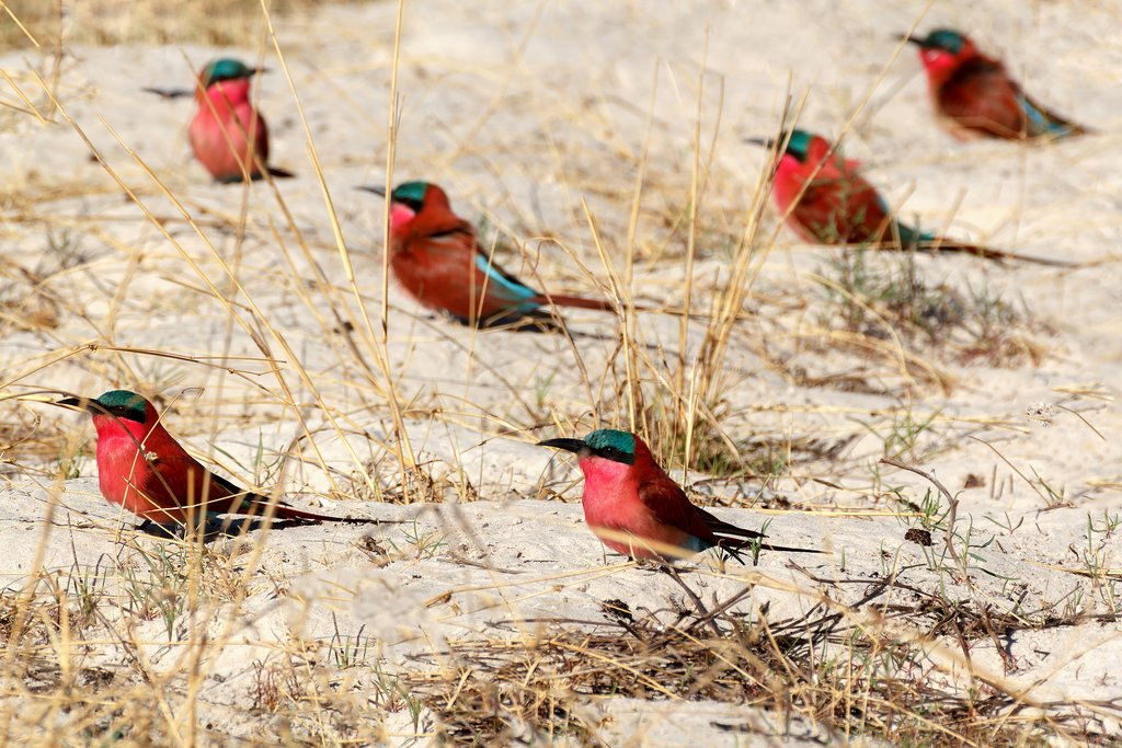 Nothern carmine bee-eaters