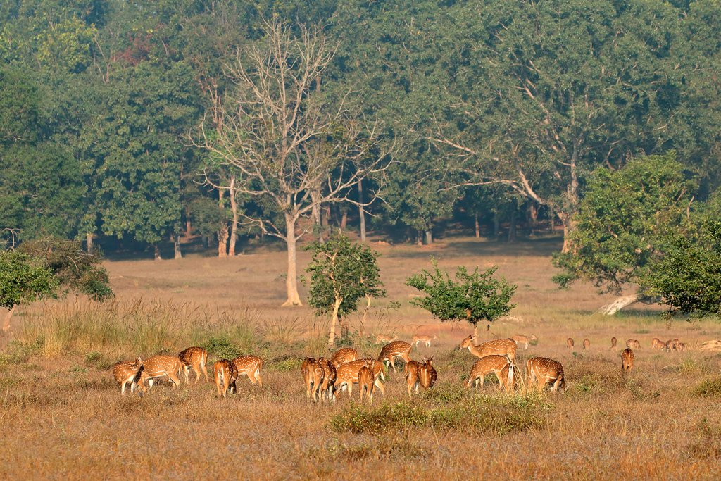 Kanha National Park is home to many wild animals, like these deer