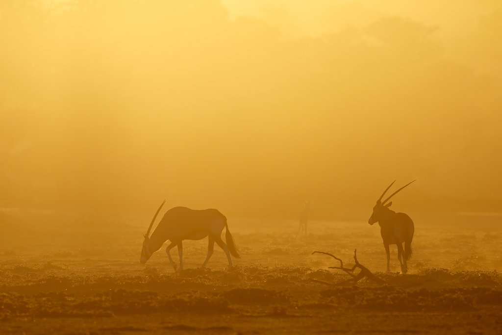 Gemsbok antelopes at sunrise