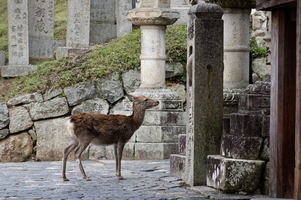 A lone deer on the grounds of Nara
