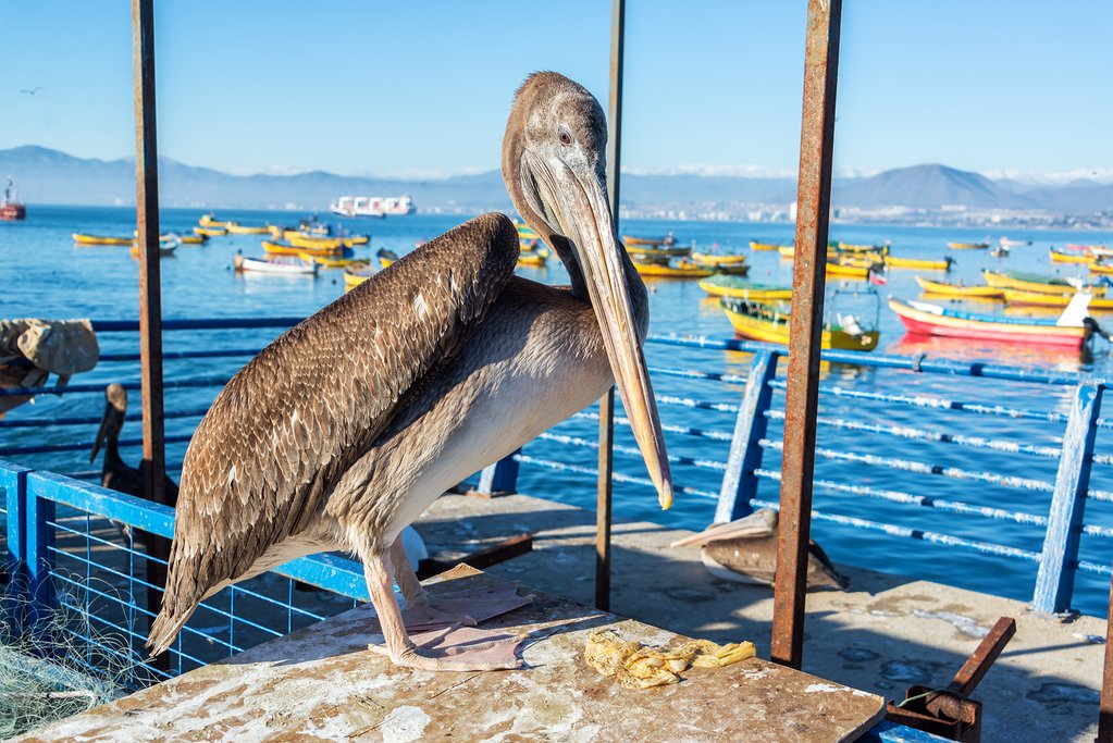 Look for pelican's along the coast