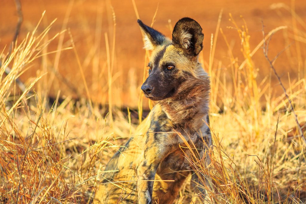 Small spotted hyena at sunset