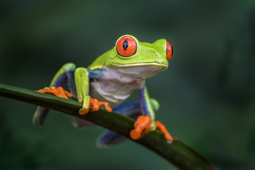 A night hike is a great opportunity to spot the famous red-eyed tree frog