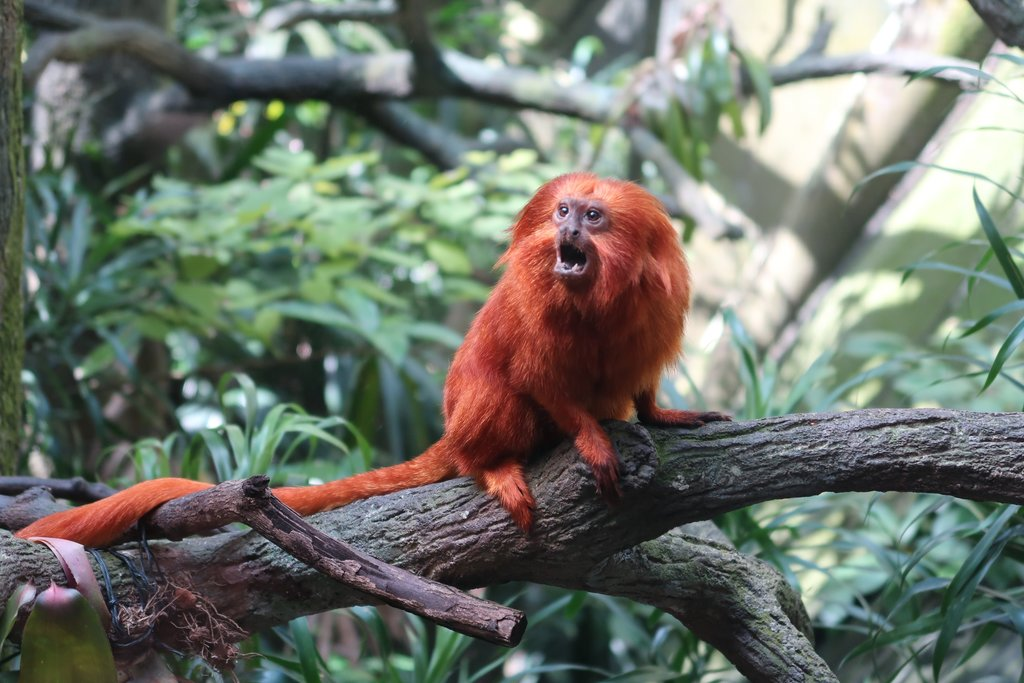 The golden lion tamarin is one of many inhabitants at the Singapore Zoo