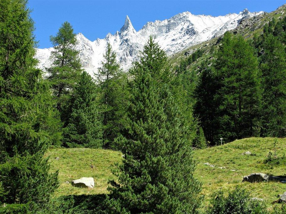 Arolla pine forest