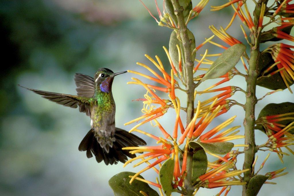 Purple throated hummingbird