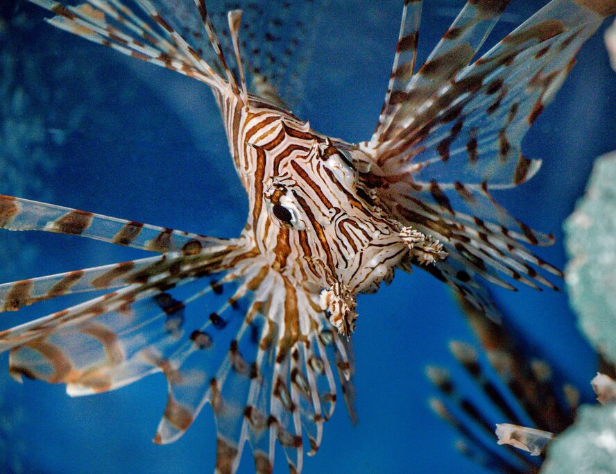 A lionfish, which you might see while snorkeling