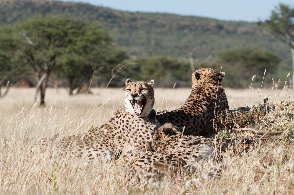 Cheetahs in Okonjima Private Nature Reserve