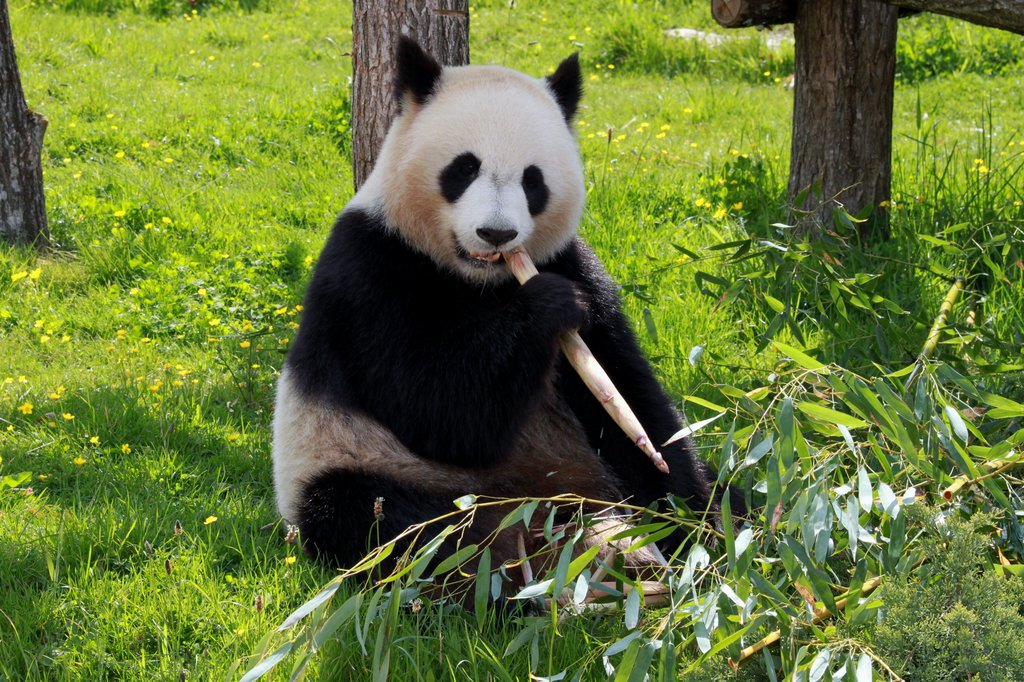Panda at the research base