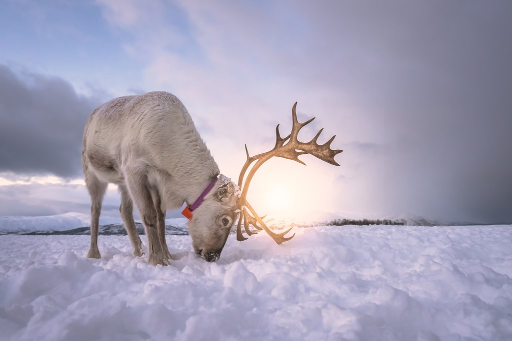 Spend the day with a herd of reindeer on this authentic excursion