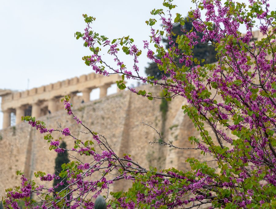 Flowers on the Acropolis in spring