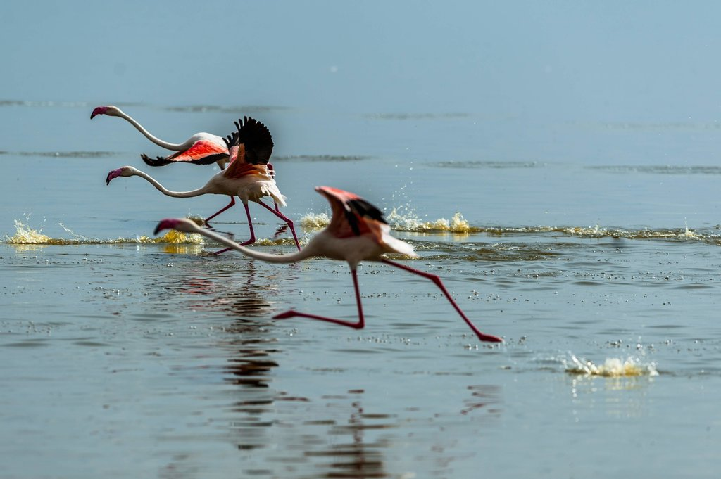 Flamingos in Nakuru