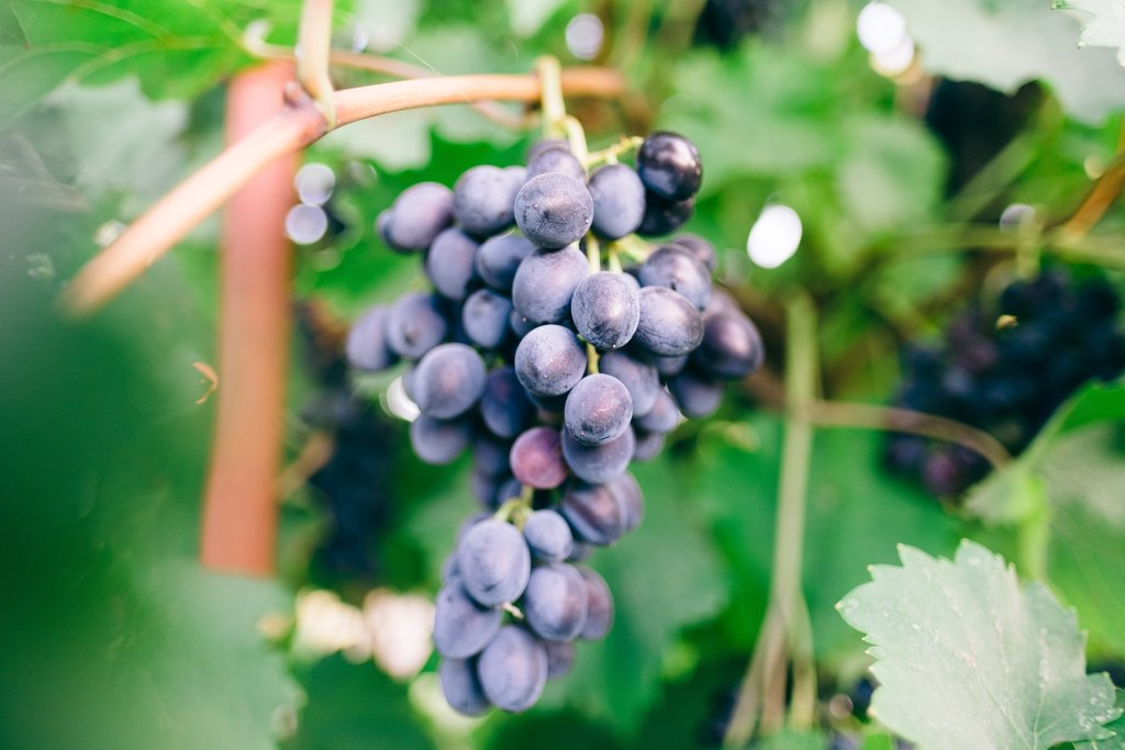 Wine-growing grapes