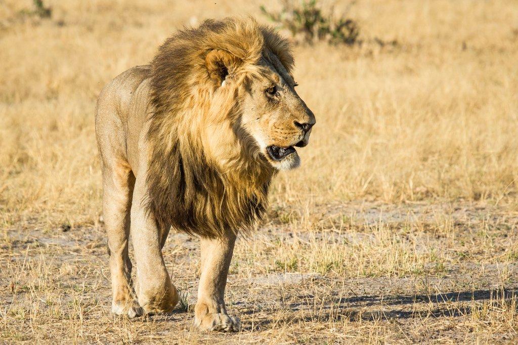 Lion at Savute