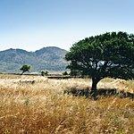 An olive tree on Naxos