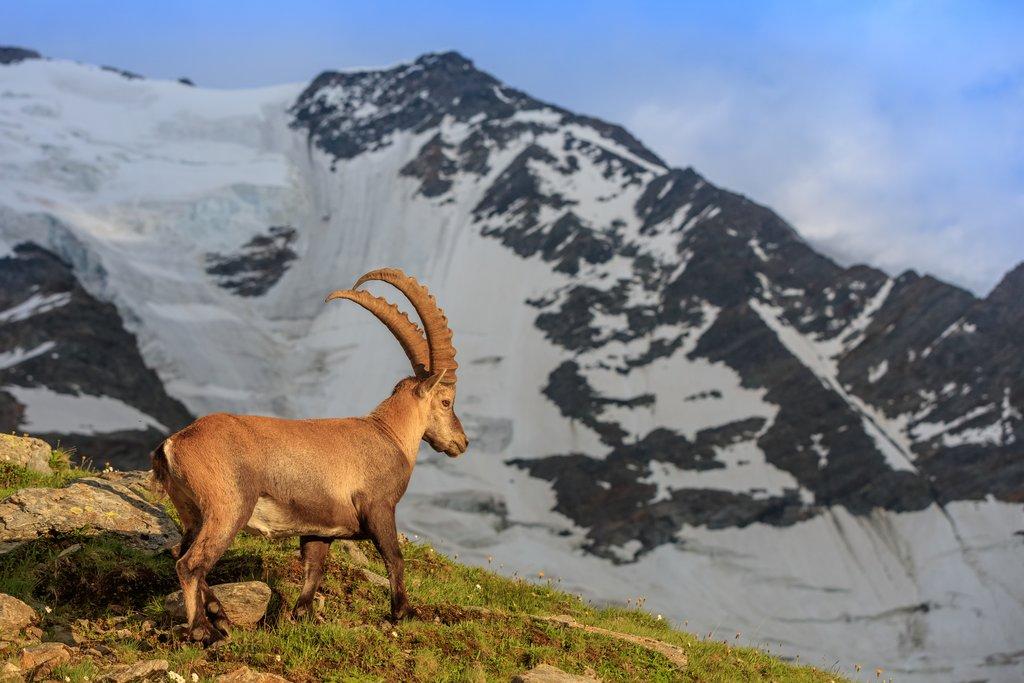 Ibex in front of Glacier du Bionnassay