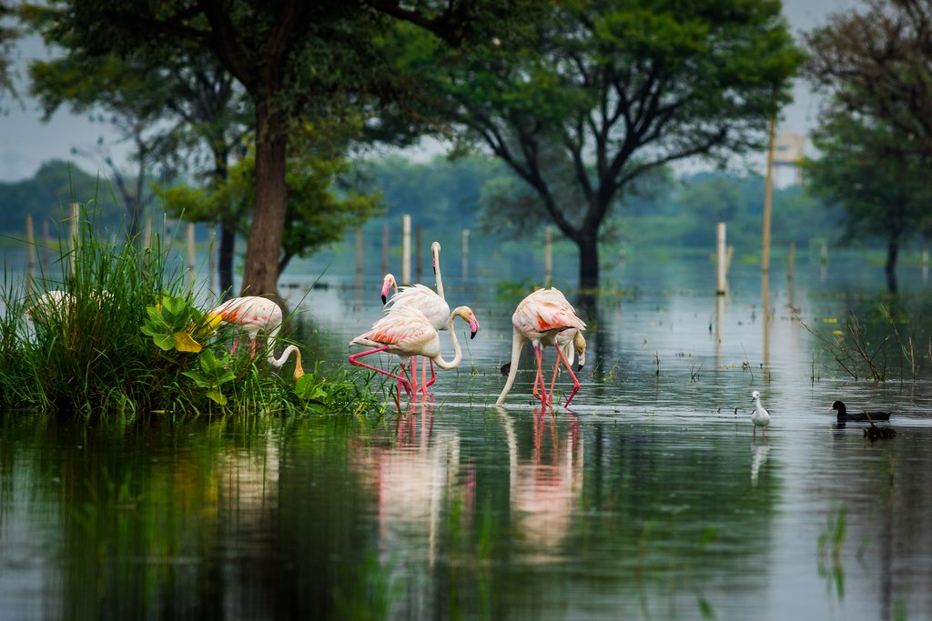Pink flamingos gather in Keoladeo National Park