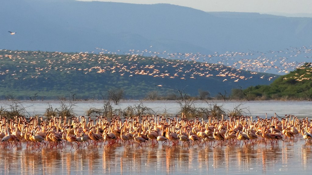 A flock of lesser flamingos at Lake Bogoria
