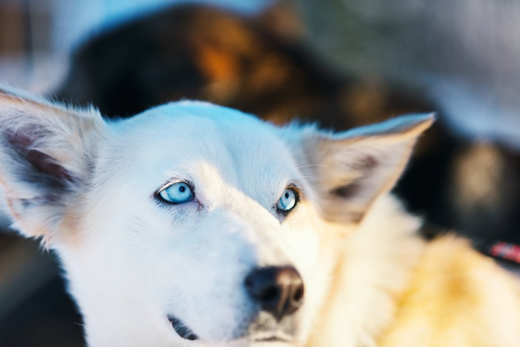 Spend time with the huskies as they train for dogsledding season
