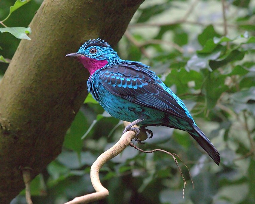 The gorgeous plumage of the turquoise cotinga