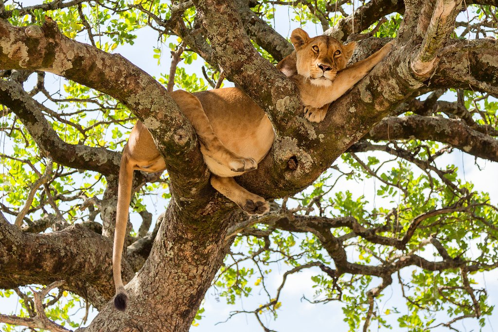 A lioness in a tree at Masai Mara