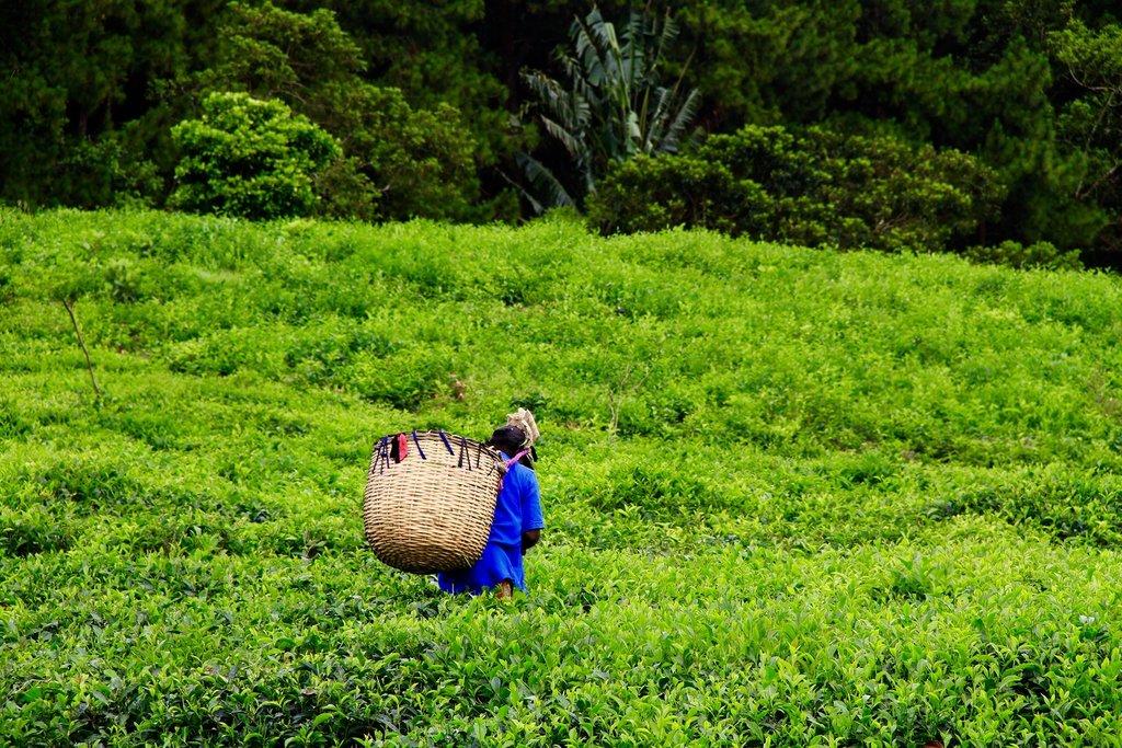 Tea harvesters at work