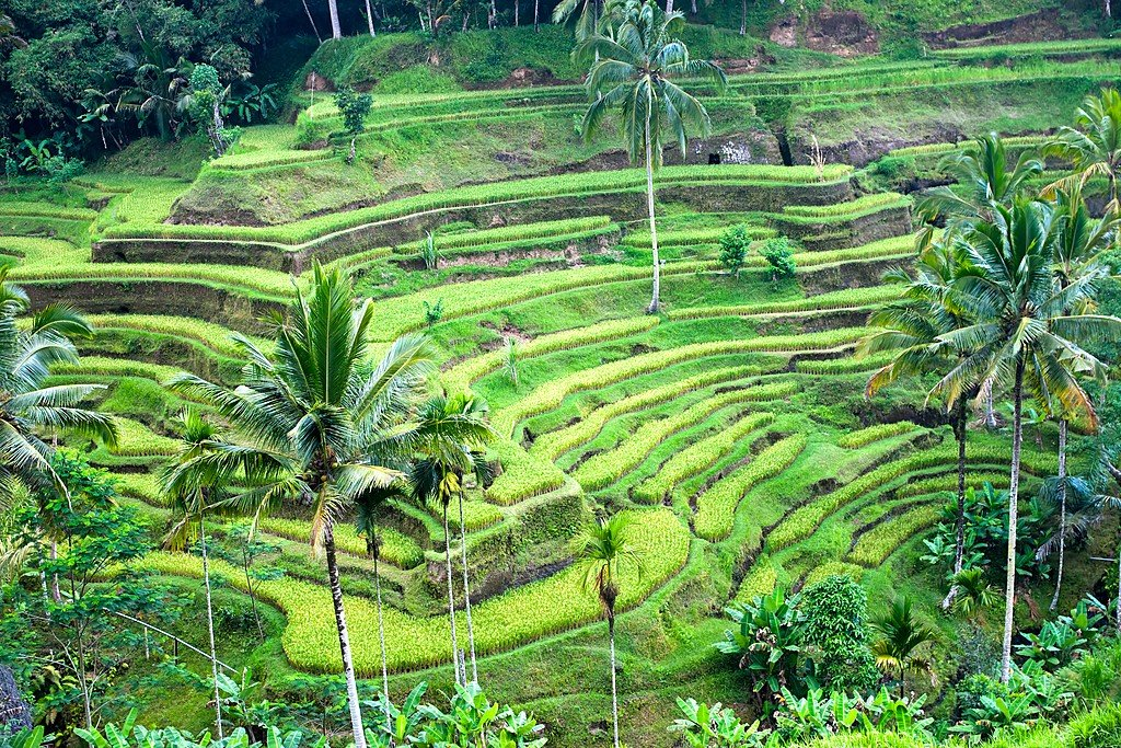 A rice field in Bali