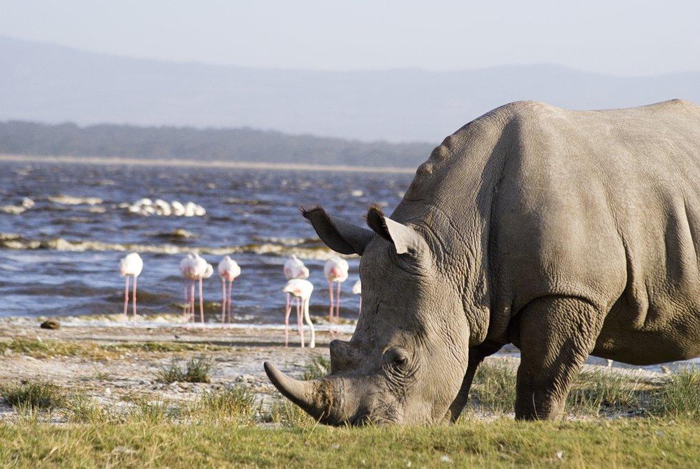 A rhino and flamingoes on Lake Nakuru