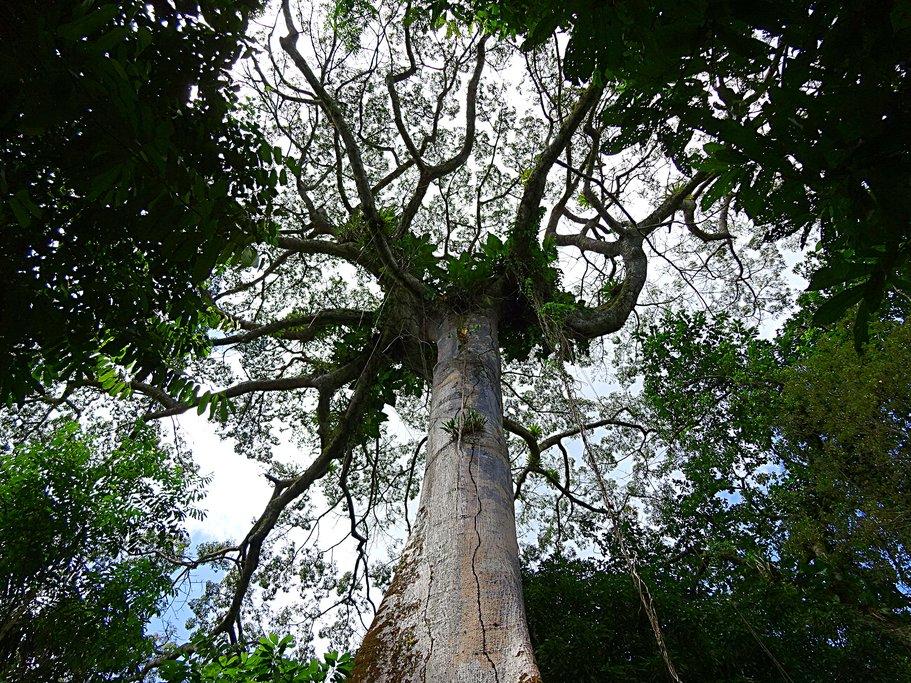 A Sumaúma tree
