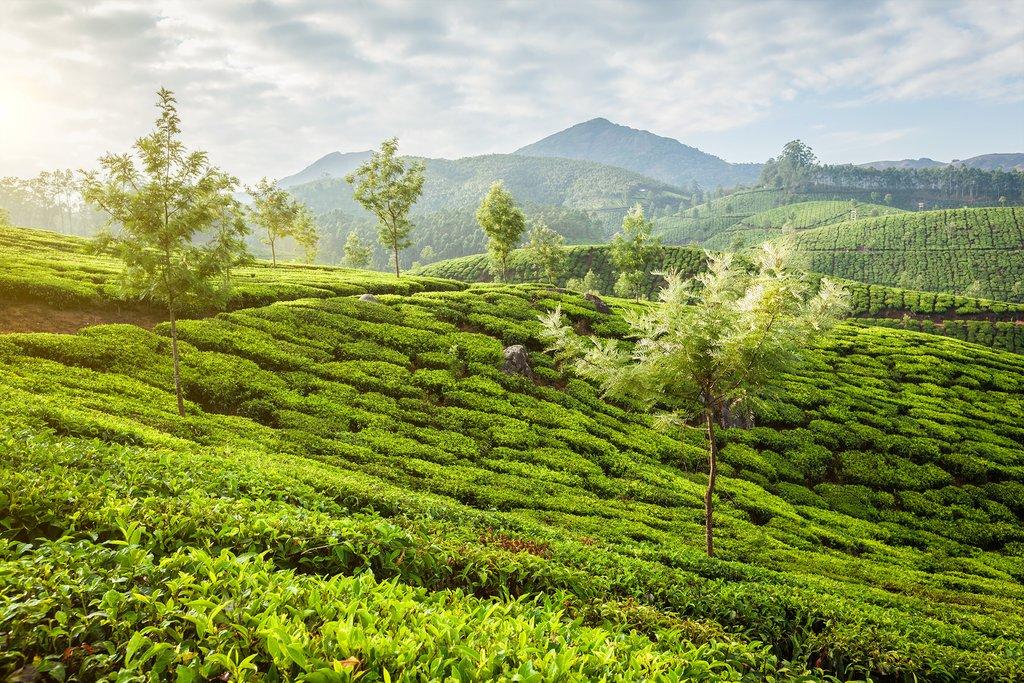 Beautiful tea plantations in Munnar