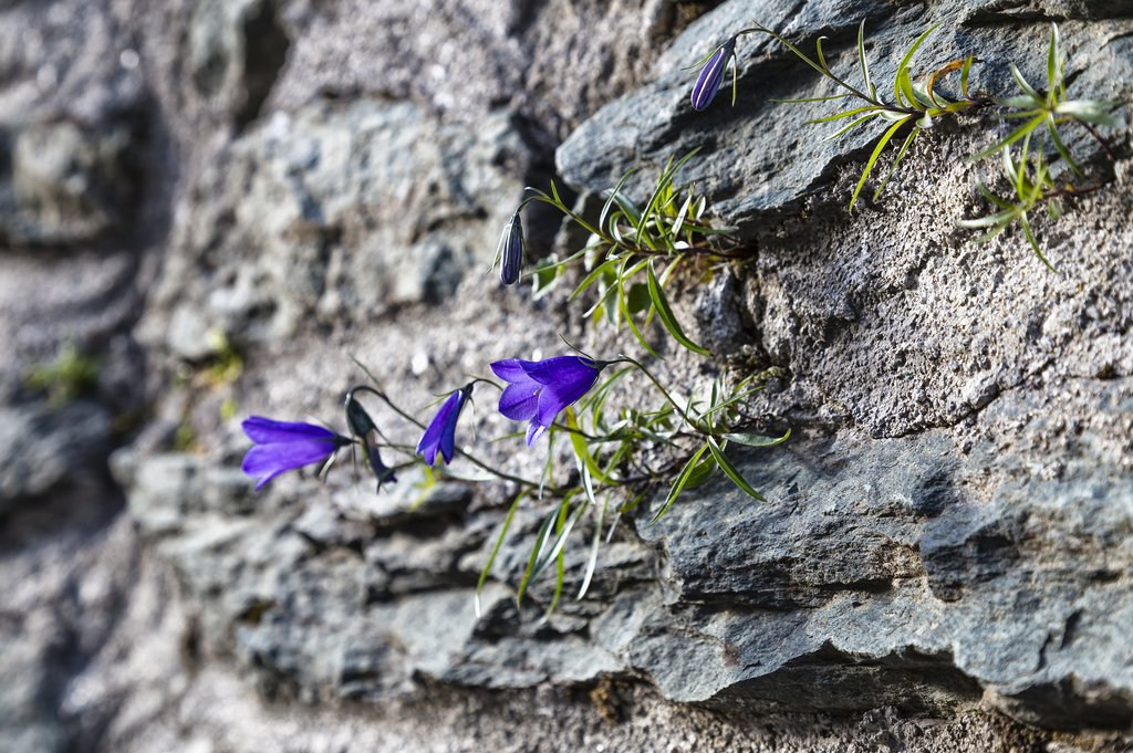 Alpine bluebell