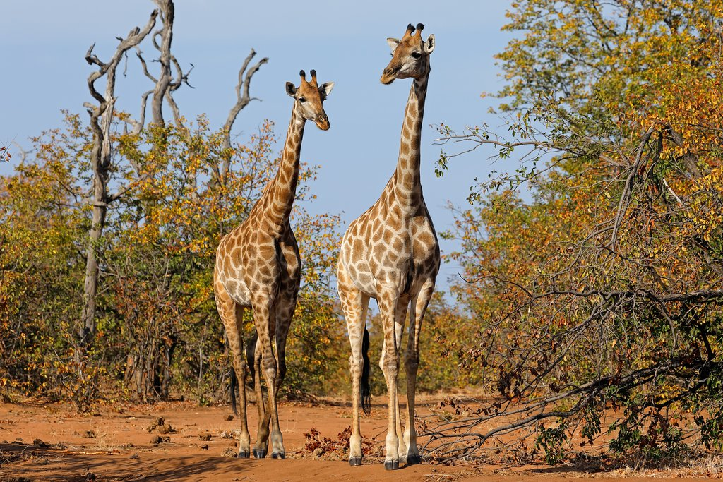 Giraffes on patrol